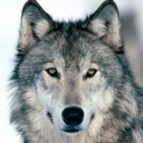 agawolf