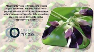 Mucuna Pruriens, pianta afrodisiaca utile nel calo di libido